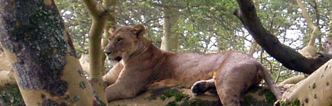 lioness-on-a-tree_665
